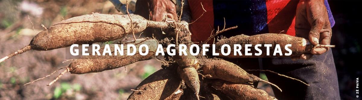 Gerando agroflorestas Ramo de raizes de mandioca seguradas por mãos